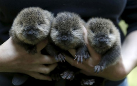 The Desires of Your Hearts.corpvs 3 Baby Beavers - A Mother Nature Trinity